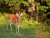 foto of black tail deer  - Whitetail deer doe all alone at the edge of a forest - JPG