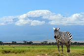 stock photo of kilimanjaro  - Zebra on Kilimanjaro mountain background in National Park - JPG