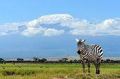 pic of kilimanjaro  - Zebra on Kilimanjaro mountain background in National Park - JPG