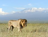foto of kilimanjaro  - Lion on savanna landscape background and Mount Kilimanjaro - JPG