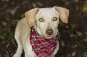 foto of stare  - A curious dog with a Plaid bandana is staring at you - JPG