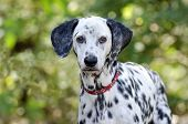 image of stare  - A beautiful Dalmatian is staring at you.