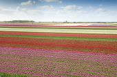 stock photo of cloudy  - Tulip field with different colors and cloudy sky above North Holland the Netherlands - JPG