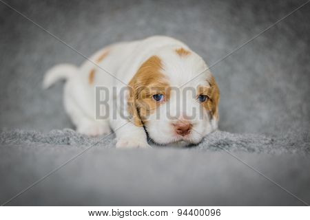 Adorable 4 Week Old Cocker Spaniel Puppies