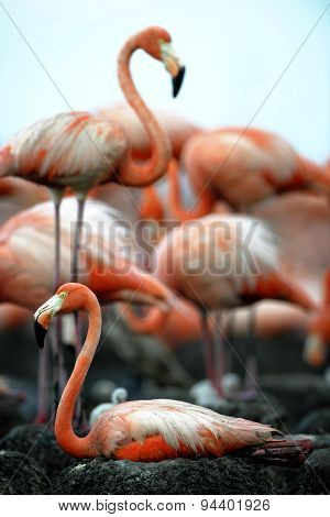 Colony of Great Flamingos. Rio Maximo, Camaguey, Cuba