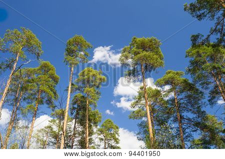 The young pine forest on sky background