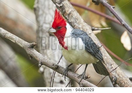 Brazilian Cardinal on Branch