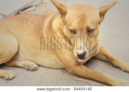 Brown Dog Lying On The Floor Of The Cement.