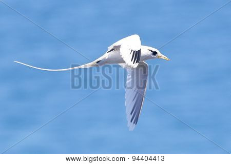 White Tailed Tropicbird in Flight