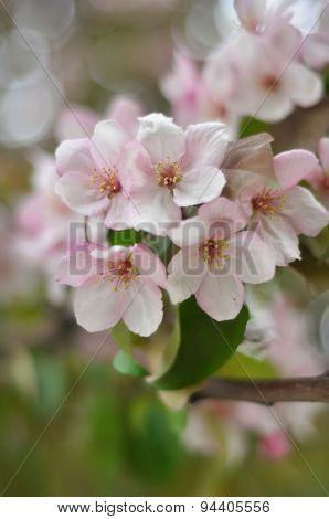 Bluring Pink Apple Flowers In Spring Time With Green Leaves