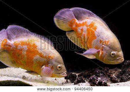 Colorful Tropical Fish In Aquarium