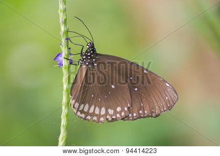 Butterfly Resting (euploea Core)