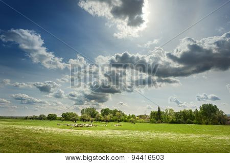 Flock Of Sheep Grazing On The Pasture At Sunny Day