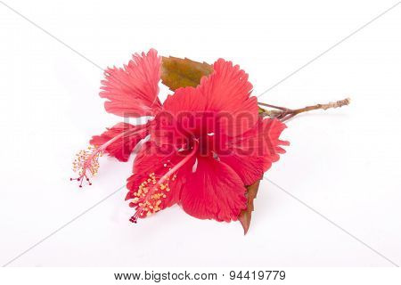 Stem Of Red Hibiscus Flowers With Autumn Colored Leaves
