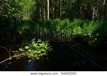 The Island Green Leaves Of Water Lilies In The Forest Reflected In The River Water, Forest And Coast