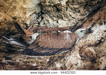 Vulture on its nest