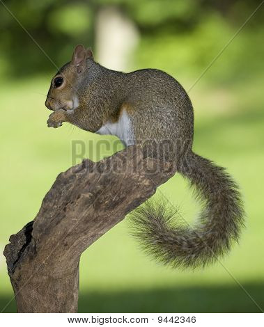Treetop Squirrel