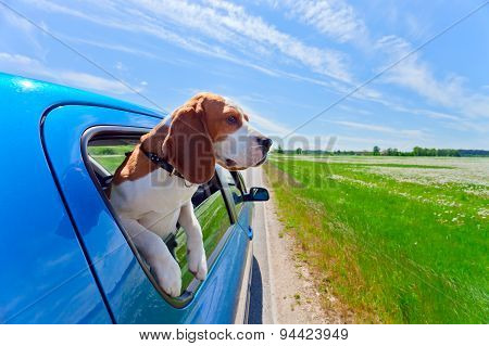 Beagle In Blue Car
