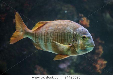 Tropical stripped fish. Wildlife animal.