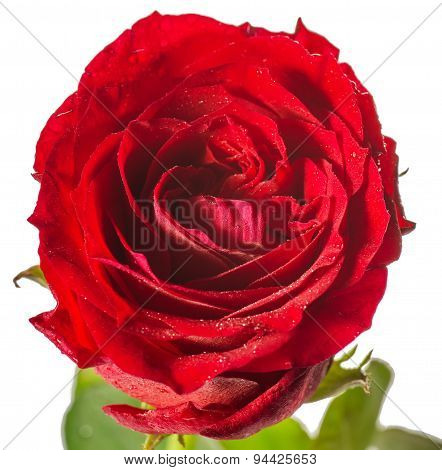 single red rose, isolated on white