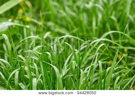 Grass With Drops Of Water