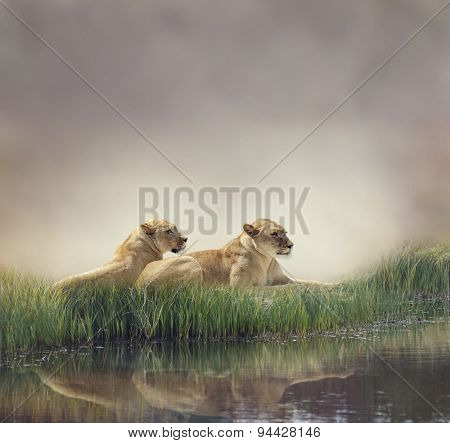 Female Lions Resting Near Pond