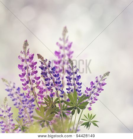 Pink And Purple Lupine Flowers Bloom