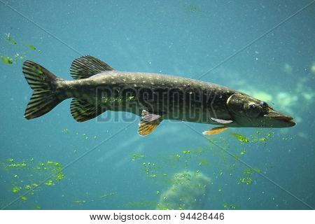 Northern pike (Esox lucius). Wildlife animal.