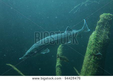 European sturgeon (Huso huso), also known as the beluga. Wildlife animal.