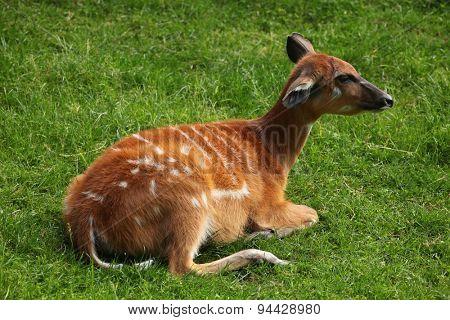 Forest sitatunga (Tragelaphus spekii gratus), also known as the forest marshbuck. Wildlife animal.
