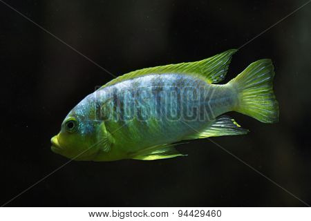 Perlmutt cichlid (Labidochromis sp. perlmutt). Wildlife animal.