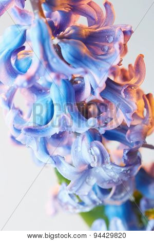 Hyacinth Flower With Drops Of Water