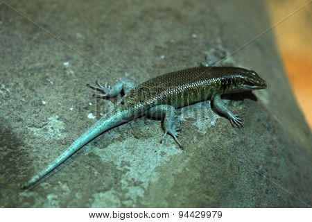Rainbow mabuya (Trachylepis margaritifera), also known as the rainbow skink or blue-tailed skink. Wildlife animal.