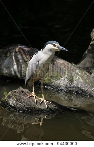 Indian pond heron (Ardeola grayii), also known as the paddybird. Wildlife animal.