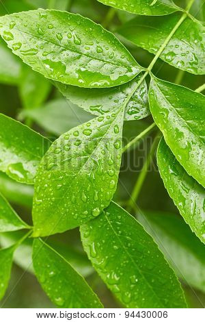 Leaves With Drops Of Water