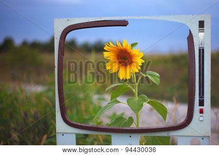 Lone Sunflower In A Field Framed
