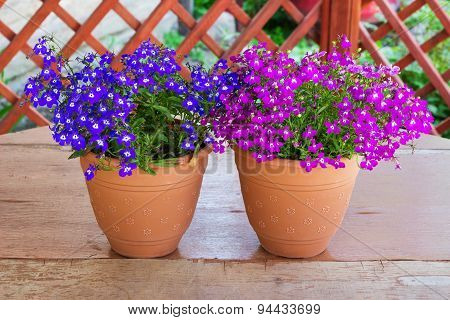 Purple bell flowers in beautiful sunlight two pots of pink