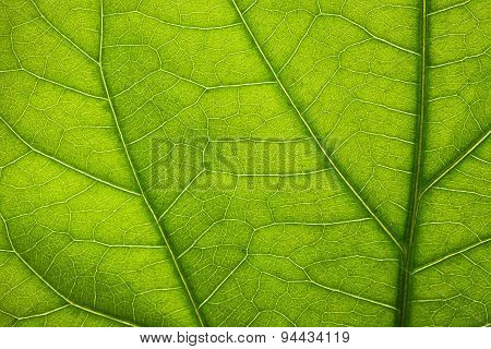 Texture Of Green Leaf