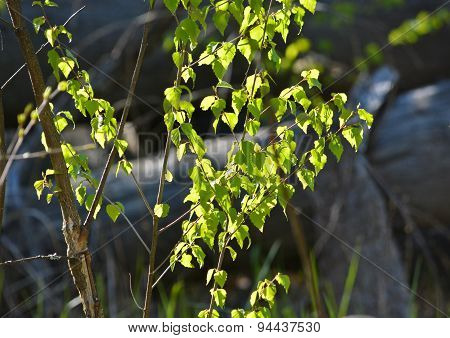 Young Birch Leaves, Illuminated By The Sun.