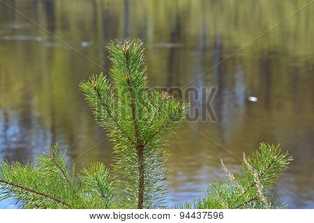 Pine Branch On A Background Of Flowing Water.