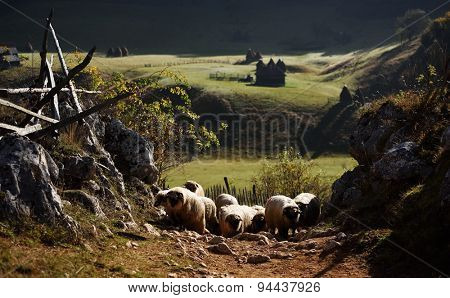 flock of sheep on mountain pasture in autumn morning