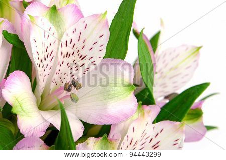 Pink Peruvian Lily Isolated On White Background.