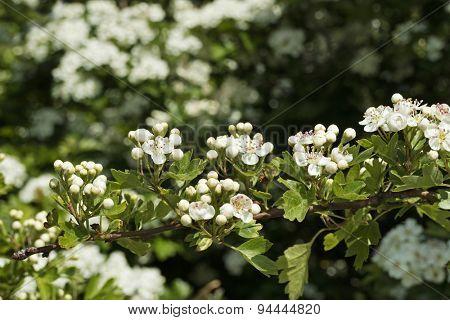 White flowering thornapple