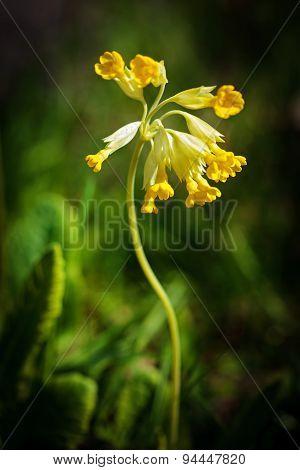 Common Cowslip (primula Veris)