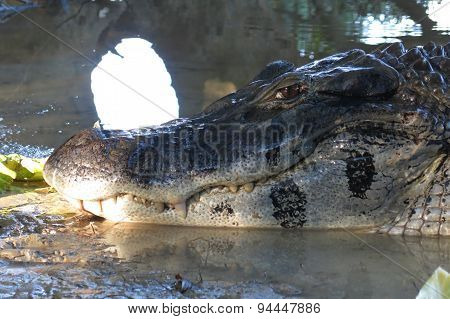 Detail Of The Head Of A Black Caiman
