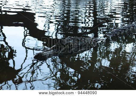 Black Alligator Hidden In The River Yacuma