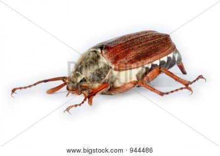 Cockchafer (May-Bug)