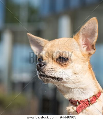 Close-up portrait of chihuahua