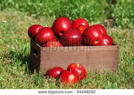 Ripe red apples in wooden crate on green grass outdoors