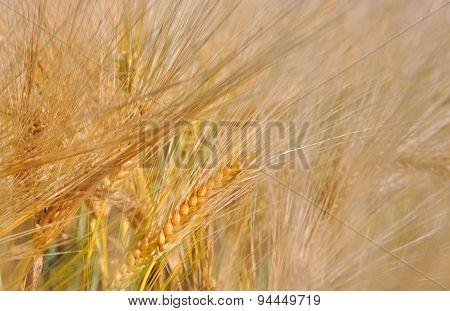Barley Bearded